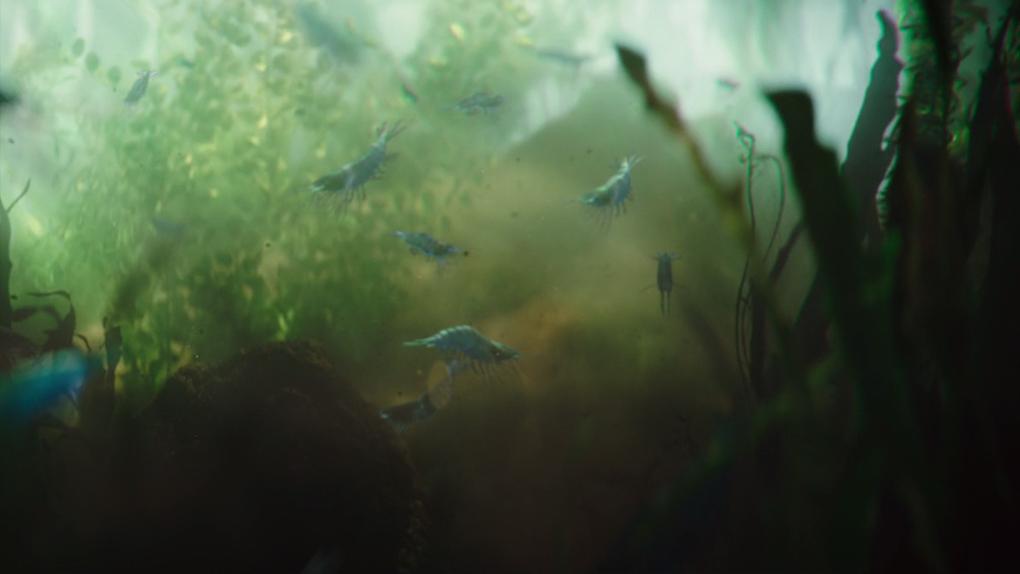 Les crustacés krill